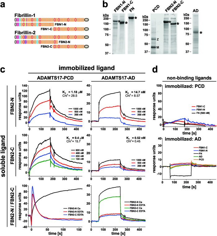 ADAMTS17-PCD binds to fibrillin-2 but not fibrillin-1 or fibronectin. ( a ) Domain structure of recombinant fibrillin-1 and fibrillin-2 peptides used to analyze interactions with ADAMTS17-PCD (PCD) or ADAMTS17-AD (AD). ( b ) Coomassie blue stained SDS-PAGE showing the integrity and purity of the recombinant proteins used in the interaction studies. The asterisks indicate the full-length constructs. M, mature enzyme; Z, zymogen. ( c ) Surface plasmon resonance shows binding of FBN2-N and FBN2-C to ADAMTS17-PCD (left-hand panels) or ADAMTS17-AD (right-hand panels). Binding was dose-dependent and Ca 2+ -dependent. The dissociation constant (K D ) was calculated assuming 1:1 stoichiometry. ( d ) ADAMTS17-PCD (top panel) or ADAMTS17-AD (bottom panel) did not bind to FBN1-N, FBN1-C, or cellular fibronectin (FN) analytes and ADAMTS17-AD did not self-interact or bind to ADAMTS17-PCD.