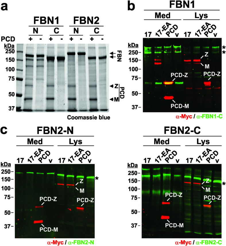 ADAMTS17-PCD does not cleave fibrillin-1 or fibrillin-2. ( a ) Coomassie-blue stained SDS-PAGE of fibrillin-1 (FBN1-N, FBN1-C) and fibrillin-2 (FBN2-N, FBN2-C) peptides (5 μg/lane) (see Fig. 6a ) incubated with (+) or without (−) recombinant ADAMTS17-PCD (5 μg/lane) shows no evidence for proteolysis of fibrillin-1 or fibrillin-2 in vitro . M = mature enzyme; Z = zymogen. ( b ) Western blot analysis of conditioned medium (Med) and cell lysate (Lys) from HEK293F cells stably expressing fibrillin-1 and transiently expressing ADAMTS17 (17), ADAMTS17 EA (17-EA), ADAMTS17-PCD (PCD) or empty vector (v). Western blots were probed with antibodies against fibrillin-1 (anti-FBN1-C, green) and the recombinant ADAMTS17 peptides (ant i-myc, red). ( c ) Western blot analysis of conditioned medium (Med) and cell lysate (Lys) from HEK293F cells stably expressing FBN2-N or FBN2-C with ADAMTS17 (17), ADAMTS17 EA (17-EA), ADAMTS17-PCD (PCD), or empty vector (v) shows no evidence of cleavage. Western blots were probed with antibodies detecting fibrillin-2 (anti-FBN2-N or anti-FBN2-C, green) and the recombinant ADAMTS17 peptides (anti-myc, red).