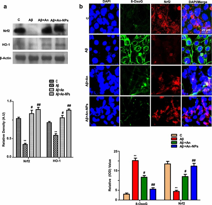 """An-NPs treatment alleviated oxidative stress and upregulated Nrf-2 and its downstream targets genes HO-1 expressions. a Shown are representative Western Blots probed with antibodies of Nrf2, and HO-1 in the Aβ 1–42 treated SHSY-5Y cells. Data are the representative of three individual experiments (n = 3). The protein bands were quantified using sigma gel software. β-Actin was used to show equivalent amounts of protein loading. b The double immunofluorescence images of SH-SY5Y cells after Aβ 1-42 and An-NPs treatment, showing 8-Oxo-G ( green ) and Nrf2 ( red ), proteins and their respective relative density histograms. The DAPI ( blue ) was used to stain the nucleus. All the experiments were performed in triplicate. The details are given in the """" Methods """" section. *Significantly different from the control; # significantly different from Aβ 1–42 -treated group. Significance = **p"""