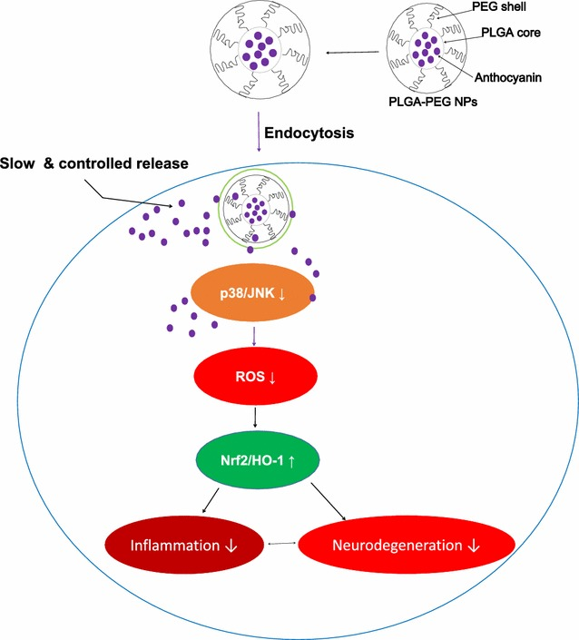 Schematic representation of intracellular uptake of anthocyanin loaded PEGylated NPs by SH-SY5Y cell via endocytosis; inside the cellular cytoplasm, the endosome is broken down by lysosomal enzymes and the drug is released in the cytoplasm and reverts the Aβ 1–42 -induced Aβ pathology by abrogating ROS generation via the P38-MAPK/JNK pathways accompanied by induction of endogenous nuclear factor erythroid 2-related factor 2 (Nrf2) and heme oxygenase 1 (HO-1)
