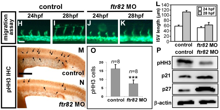 Loss of  ftr82  impairs the growth of ISV cells. ( A , A' , B , B' ) TdT-mediated dUTP-X nick end labeling (TUNEL) assay was used to detect apoptotic cells in uninjected control and  ftr82 e1i1  morphants. Increased apoptotic cells were observed on the skin and in the epidermis of the dorsal tail region (arrows), but not in vascular regions in  ftr82  MO compared to controls at 28 hpf; ( A' , B' ) are expanded images of ( A ) and ( B ), respectively; ( C , D ) AO staining (green dots) in  Tg  ( kdrl:mCherry ) fish exhibited more apoptotic cells with the knockdown of  ftr82 ; ( E , F ) The number of cells forming each ISV counted in control  Tg  ( kdrl:mCherry ci5 ;  fli1a:negfp  y7 ) ( E ) and  ftr82  morphant embryos ( F ) at 32 hpf; ( G ) Quantification of average ISV cells per ISV counted in both control ( n  = 16) and  ftr82  morphant ( n  = 18); ( H – L ) migration assay measured the difference of ISV length from 24 to 28 hpf in control and  ftr82  MO ( n  = 30 ISVs from three control embryos or morphants); ( M , N ) Proliferation marker pHH3 was counted in the trunk region beneath the neural tube and above the yolk extension area, where it is more related to main vessels and ISVs; ( O ) The mean number of mitotic cells (phosphohistone H3, pHH3 cells) in control was 16.3 ± 2.4 ( n  = 8) and in  ftr82  MO was 7.5 ± 2.1 ( n  = 8); ( P ) Western blot analysis showed the reduced expression level of pHH3; the increase of p21 and p27 protein levels. β-actin serves as a loading control. Scale bars are 200 μm for ( A – D , A' , B' , M , N ) and 50 μm for ( E , F , H – K ). *** refers to  p