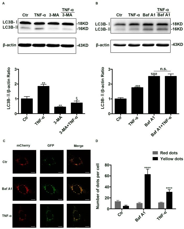 The inhibition of autophagic degradation in TNF-α treated cells. ( A , B ) Western blotting analysis of LC3B-II in Caco-2 cells treated with TNF-α (10 ng/mL) in the presence or absence of 3-MA (5 mM, 24 h) or Baf A1 (100 nM, 4 h) pretreatment. ( C ) Representative images of Caco-2 cells transfected with ad-mCherry-GFP-LC3B adenovirus after TNF-α (10 ng/mL, 48 h) or Baf A1 treatment (100 nM, 4 h). Scale bar: 15 μm. ( D ) The number of red and yellow LC3 dots per cell were counted under confocal microscope ( > 30 cells/group). Data were shown as mean ± SD and replicated three times. ** p