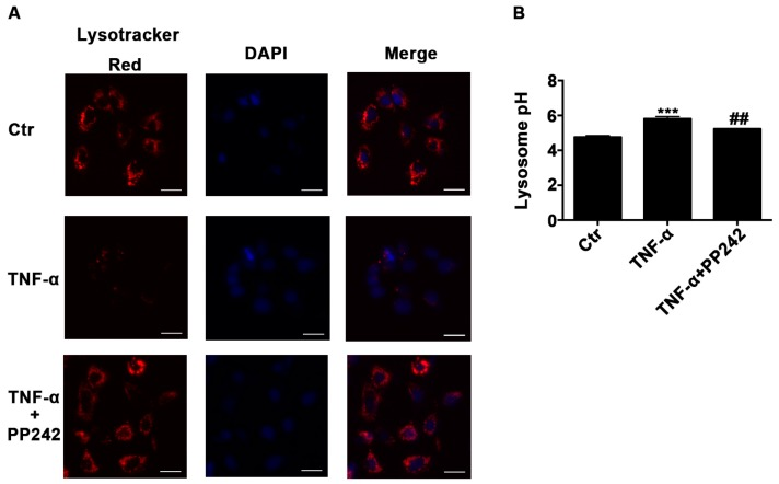 Lysosomal acidic environment was impaired after TNF-α treatment and PP242 rescued it. ( A ) Images of Caco-2 cells labeled with Lysotracker Red DND-99 dye after TNF-α (10 ng/mL, 48 h) and/or PP242 (1 μm, 24 h) treatment. The red and blue fluorescence were represented the lysosome and nucleus, respectively. Scale bar: 30 μm. ( B ) Lysosomal pH changes of Caco-2 cells labeled with Lysosensor Yellow/Blue DND-160 after TNF-α and/or PP242 treatment. Data were shown as mean ± SD and replicated three times. *** p