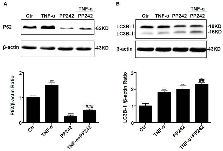 PP242 alleviated the change of autophagy flux caused by <t>TNF-α.</t> ( A , B ) Western blot analysis of P62 and LC3B-II after TNF-α (10 ng/mL, 48 h) and/or PP242 (1 μm, 24 h) treatment. Data were shown as mean ± SD and replicated three times. ** p