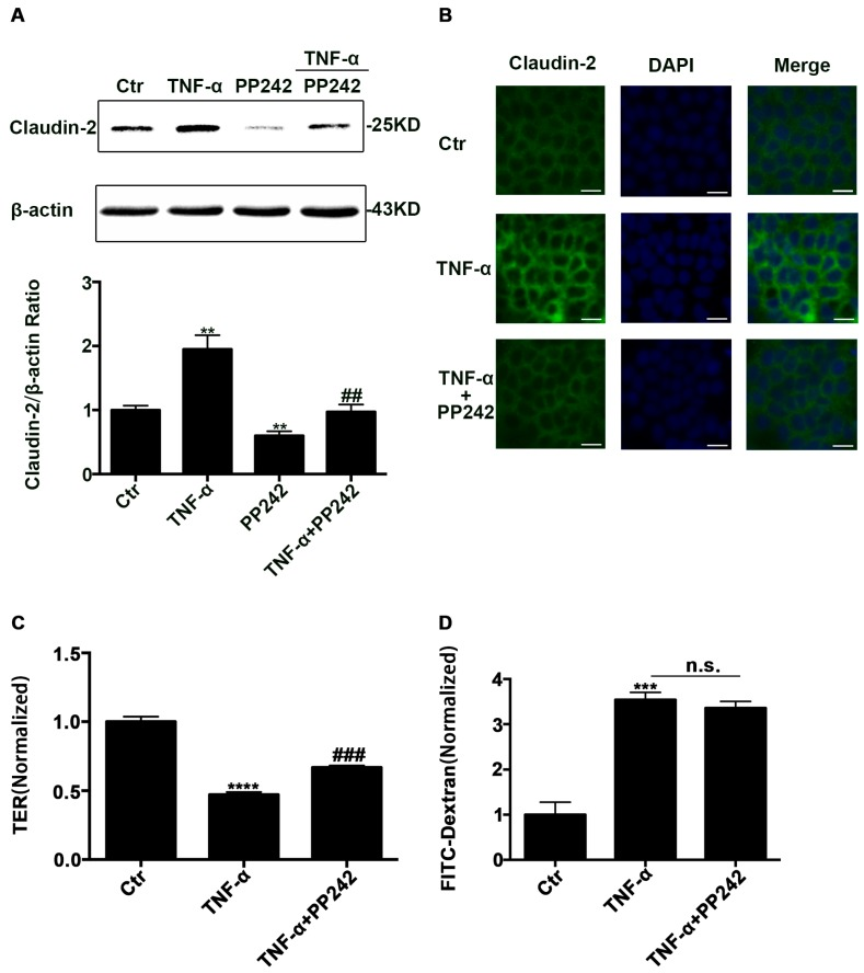 PP242 alleviated the change of claudin-2 expression and intestinal epithelial tight junction function in TNF-α treated Caco-2 cells. ( A ) Western blot analysis of claudin-2 after TNF-α (10 ng/mL, 48 h) and/or PP242 (1 μm, 24 h) treatment. ( B ) Immunofluorescence staining of claudin-2 after TNF-α and/or PP242 treatment in Caco-2 cell monolayers. The green and blue fluorescence were represented the claudin-2 protein and nucleus, respectively. Scale bar: 20 μm. ( C ) The effect of PP242 (1 μm, 24 h) on TER of Caco-2 cell monolayers treated with TNF-α (10 ng/mL, 48 h). ( D ) The effect of PP242 on the permeability of FITC-dextran in TNF-α treated Caco-2 cell monolayers. Data were shown as mean ± SD and replicated three times. ** p