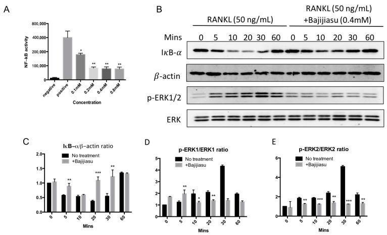 Bajijiasu suppresses RANKL-induced NF-κB activity and proteins of IκB-α and phosphorylation of extracellular signal-regulated kinases (ERK). ( A ) Luciferase activity in RANKL stimulated NF-κB transfected RAW264.7 cells under an luciferase construct. Cells were added with Bajijiasu and then stimulated with glutathione S -transferase (GST)-rRANKL (50 ng/mL). (* p
