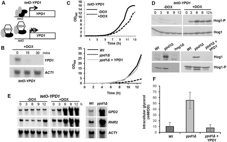 C . albicans cells lacking YPD1 exhibit hyperactivation of Hog1 but are viable. (A) Strategy to control YPD1 expression. One YPD1 allele was deleted, and the remaining allele placed under the control of the E . coli tet operator ( tetO ) in strain THE1 to generate strain tetO-YPD1 (JC1586). THE1 cells express an E . coli tet repressor– S . cerevisiae Hap4 activation domain fusion protein. In the absence of doxycycline (DOX), this fusion protein binds as a dimer to the tet operator resulting in transcriptional activation. However, doxycycline prevents dimerisation of the fusion protein and blocks transcription. (B) Doxycycline treatment inhibits YPD1 expression. Northern analysis of YPD1 and ACT1 (control) transcript levels in tetO-YPD1 cells treated with doxycycline for the indicated times. (C) Repression or deletion of YPD1 results in a slow growth phenotype. Growth analysis of tetO-YPD1 cells, untreated or treated with doxycycline (top panel), and wild-type (Wt, JC21), ypd1Δ (JC2001) and ypd1Δ+YPD1 (JC2002) cells (bottom panel). (D) Repression or deletion of YPD1 results in constitutive phosphorylation of Hog1. Western blot analysis of whole cell extracts isolated from tetO-YPD1 cells following treatment with doxycycline for the indicated times, or from exponentially growing wild-type (Wt), ypd1Δ and ypd1Δ+YPD1 cells. Blots were probed for phosphorylated Hog1 (Hog1-P), stripped and reprobed for total Hog1 (Hog1). (E) Repression or deletion of YPD1 results in high levels of GPD2 and RHR2 expression. RNA was isolated from tetO-YPD1 cells, treated with or without doxycycline for the indicated times, or wild-type and ypd1Δ cells, and analyzed using gene-specific probes with ACT1 as a loading control. (F) Deletion of YPD1 results in increased intracellular glycerol levels. The mean ± SD is shown for 3 biological replicates.