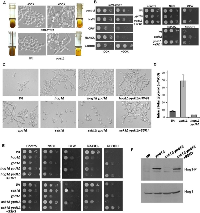 Phenotypes associated with loss of Ypd1 are dependent on Hog1 and Ssk1. (A) Repression or deletion of YPD1 triggers flocculation and a swollen pseudohyphal filamentous phenotype. Micrographs of Wt , ypd1Δ , and tetO-YPD1 cells plus or minus doxycycline (DOX) grown overnight in rich media. Images of culture tubes demonstrate the rapid sedimentation rate of cells lacking YPD1 . (B) Repression or deletion of YPD1 results in pleiotropic stress phenotypes. 10 4 cells, and 10-fold dilutions thereof, of exponentially growing tetO-YPD1 cells, or wild-type ( Wt ), ypd1Δ and ypd1Δ+YPD1 cells, were spotted onto rich media plates (plus or minus DOX for tetO-YPD1 cells) containing NaCl (1.0 M), calcofluor white (CFW, 30 μg/ml), NaAsO 2 (1.5 mM) and t -BOOH (2 mM), and incubated at 30°C for 24h. (C) The morphological defects exhibited by ypd1Δ cells are dependent on Hog1 and Ssk1. Micrographs of wild-type ( Wt ), ypd1Δ , hog1Δ (JC50), ssk1Δ (JC1552), hog1Δ ypd1Δ (JC1475) hog1Δypd1Δ + HOG1 (JC1478), ssk1Δ ypd1Δ (JC1683), and ssk1Δ ypd1Δ + SSK1 (JC1704) cells. (D) The high glycerol levels in ypd1Δ cells are dependent on Hog1. The mean ± SD is shown for 3 biological replicates. (E) The stress phenotypes exhibited by ypd1Δ cells are dependent on Hog1 and Ssk1. Exponentially growing strains were spotted onto rich media plates containing the additives detailed in B above, and incubated at 30°C for 24h. (F) The sustained Hog1 activation in ypd1Δ cells is dependent on Ssk1. Western blots depicting basal levels of Hog1 phosphorylation in the indicated strains. Blots were probed for phosphorylated Hog1 (Hog1-P), stripped and reprobed for total Hog1 (Hog1).