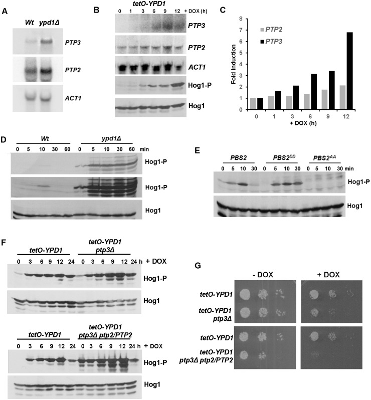 C . albicans cells adapt to loss of Ypd1 function by inducing negative regulators of Hog1. (A) PTP2 and PTP3 are induced in ypd1Δ cells. Northern blot analysis of PTP2 and PTP3 expression in exponentially growing Wt (JC21 and ypd1Δ (JC2001) cells. ACT1 was used as a loading control. (B) The kinetics of PTP3 and PTP2 are similar to that of Hog1 activation following doxycycline treatment of tetO-YPD1 cells. Northern blot analyses of PTP2 and PTP3 expression, and western blot analysis of Hog1 phosphorylation in tetO-YPD1 cells (JC1586) following treatment with doxycycline for the indicated times. (C) Quantification of PTP3 and PTP2 induction following doxycycline treatment of tetO-YPD1 cells. (D) The tyrosine phosphatase inhibitor, arsenite, further activates Hog1 in ypd1Δ cells. Western blot analysis of whole cell extracts isolated from exponentially growing Wt and ypd1Δ cells treated with 5mM NaAsO 2 for the specified times. Duplicate blots were probed for phosphorylated Hog1 (Hog1-P) or total Hog1 (Hog1) levels. A darker exposure of the Hog1-P blot is included (middle panel) to show the level of Hog1-P observed in Wt cells following arsenite treatment. (E) Hog1 is activated by arsenite in PBS2 DD cells. Western blot analysis of whole cell extracts isolated from exponentially growing PBS2 (JC112), PBS2 AA (JC126) and PBS2 DD (JC124) cells after treatment with 5mM NaAsO 2 for the specified times. Blots were probed for phosphorylated Hog1 (Hog1-P), stripped, and reprobed for total Hog1 (Hog1) levels. (F) Deletion of PTP genes trigger greater activation of Hog1 following repression of YPD1 . Western blot analysis of whole cell extracts isolated from tetO-YPD1 , tetO-YPD1 ptp3Δ (JC2188) and tetO-YPD1 ptp3Δ PTP2/ptp2 (JC2195) cells following treatment with doxycycline for the indicated times. Duplicate blots were probed for phosphorylated Hog1 (Hog1-P) or total Hog1 (Hog1) levels. (G) Deletion of PTP genes impairs cell growth following repression of YPD1 . 10 4 cells, and
