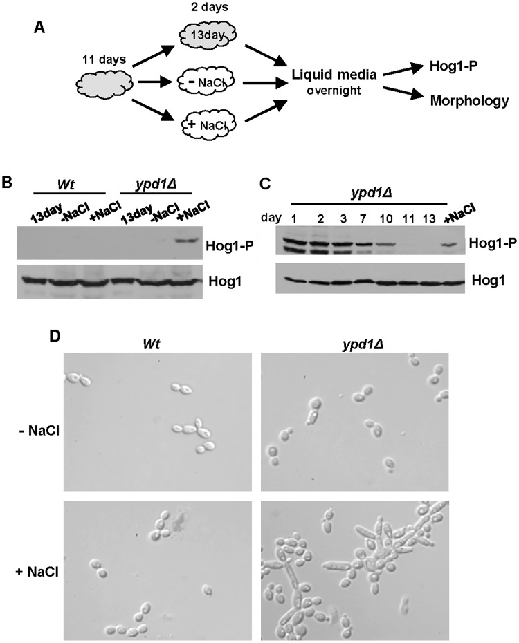 The reduction of Hog1 phosphorylation following loss of Ypd1 function can be reversed by stress exposure. (A) Experimental overview. Freshly isolated cells were incubated on rich solid media for 11 days (depicted in grey) and then either re-streaked onto fresh rich media with (+NaCl) or without (-NaCl) 0.3M NaCl (depicted in white) and incubated for a further 2 days, or maintained on the original plate for a further 2 days (13 day). Cells were then cultured overnight in liquid rich media lacking NaCl, and Hog1 phosphorylation and cellular morphology examined. (B) Western blot analysis of both phosphorylated and total Hog1 levels in Wt (JC21) and ypd1Δ (JC2001) cells treated as described in A. (C) Western blot analysis of whole cell extracts isolated from exponentially-growing ypd1Δ cells taken either from rich media plates after the number of days indicated, or after being re-streaked on rich media with NaCl (+NaCl) as described in A. Duplicate blots were probed for phosphorylated Hog1 (Hog1-P) or total Hog1 (Hog1) levels. (D) Micrographs of exponentially-growing Wt and ypd1Δ strains treated as described in A.