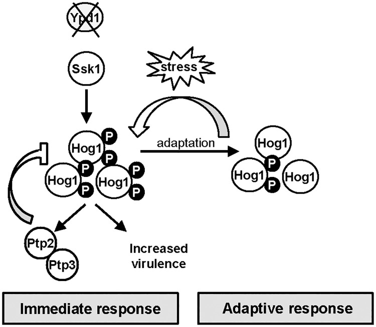 Ypd1 inactivation in C . albicans triggers Hog1 hyperactivation, increased virulence, and in the long term a reduction in Hog1 activity. Model depicting outcomes following YPD1 loss in C . albicans . Loss of Ypd1 results in the accumulation of the unphosphorylated Ssk1 response regulator, which drives the activation of Hog1 under non-stressed conditions. The levels of Hog1 phosphorylation are modulated by the induction of the negative regulators Ptp2 and Ptp3 which allows cells to adapt and survive Ypd1 loss. Loss of Ypd1 function during infection increases the virulence of C . albicans , by possibly enhancing Hog1 activity promoting stress resistance and/or filamentation. Furthermore, C . albicans adapts to long-term activation of Hog1 by reducing the levels of the phosphorylated Hog1 kinase. This adaptation process prevents phenotypes associated with sustained SAPK activation and ypd1Δ cells now phenotypically resemble wild-type cells. Notably, however, this adaptation mechanism to circumvent Hog1 phosphorylation can be over-ridden following transient stress exposure and thus sustained Hog1 activation is restored.