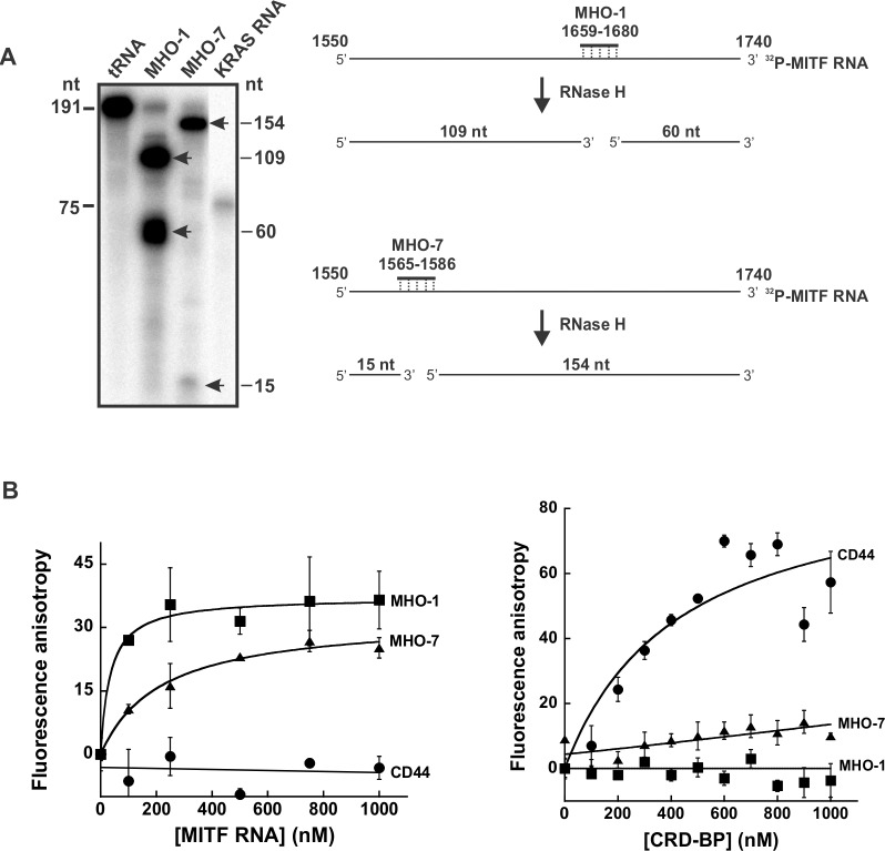 Assessing the binding of MHO-1 and MHO-7 to MITF RNA and CRD-BP. (A) RNase protection assay to assess the binding of MHO-1 and MHO-7 antisense oligonucleotides to MITF RNA 1550–1740. 32 P-MITF RNA 1550–1740 was incubated with tRNA, MHO-1 or MHO-7 overnight at 42°C as described in Materials and Methods. The reactions were then subjected to RNase H treatment, precipitated, and ran on 8% denaturing polyacrylamide gel as shown. 32 P-MITF RNA fragments which were not digested by RNase H are shown by arrows. The 75 nts size KRAS RNA on lane 4 was used as a marker. The schematic diagram on the right illustrates the action of RNase H and the expected RNA fragments generated upon hybridization of MHO-1 and MHO-7 to 32 P-MITF RNA 1550–1740. (B) Fluorescence polarization assays to assess the binding of MHO-1 and MHO-7 to MITF RNA (left panel) and CRD-BP (right panel). Ten nM of fluorescein-labeled MHO-1 and MHO-7 AONs as well as fluorescein-labeled CD44 RNA were incubated with an increasing concentration of MITF RNA (0–1000 nM) (left panel) or CRD-BP (0–1000 nM) (right panel) as described in Materials and Methods. The error bars are S.E. and the results are representative of two separate experiments.