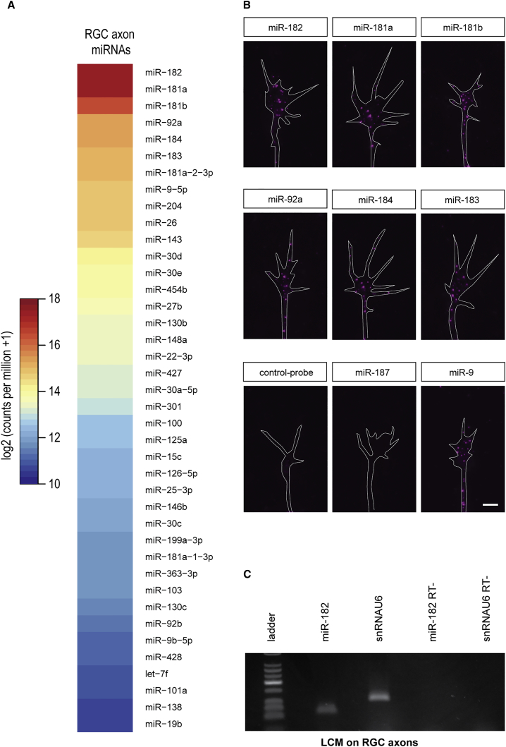 miR-182 Is Localized in RGC Axons (A) Heatmap representing the average expression of mature miRNAs from two axonal small <t>RNA-sequencing</t> (sRNA-seq) libraries prepared from stage 37/38 retinal cultures. The figure is sorted by decreasing axonal average values. (B) Fluorescent ISH on stage 35/36 RGC GCs cultured in vitro for 24 hr. (C) <t>TaqMan</t> qPCR performed on RNA extracted from laser-captured stage 37/38 RGC axons. U6 snRNA was used as positive control, because it is found in developing axons ( Natera-Naranjo et al., 2010 , Zhang et al., 2013 , Hancock et al., 2014 ). RT−, no template negative control; snRNAU6, U6 snRNA. Scale bar, 5 μm (B). See also Figure S1 and Table S1 .