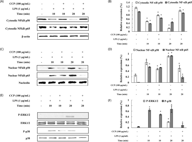 Inhibitory effects of the crude polysaccharides from the Celluclast enzyme digest (CCP) on NF-κB and MAPK activation in LPS-stimulated RAW 264.7 cells. RAW 264.7 cells were treated with LPS (1 µg/mL) or CCP (100 µg/mL) for 10 or 20 min. (A) and (B) Cytosolic cell lysates, (C) and (D) nuclear protein extracts (40 µg) were resolved by 10% SDS-PAGE, transferred to nitrocellulose membranes, and probed with antibodies against NF-κB p50 and p65. The proteins were then visualized by ECL. (E) and (F) Effects of CCP on MAPK activation induced by LPS in RAW 264.7 cells. RAW 264.7 cells were treated with LPS (1 µg/mL) or CCP (100 µg/mL) for 10 or 20 min. Total protein (40 µg) was separated by 10% SDS-PAGE, transferred to nitrocellulose membranes, and probed with antibodies against ERK and p38. The proteins were then visualized by ECL. The intensity of the bands was measured by ImageJ software. Relative amounts of density ratio represented the relative intensity of each band against that of the standard protein. The results shown are representative of those obtained from three independent experiments. Each data point represents the mean ± SEM ( * P