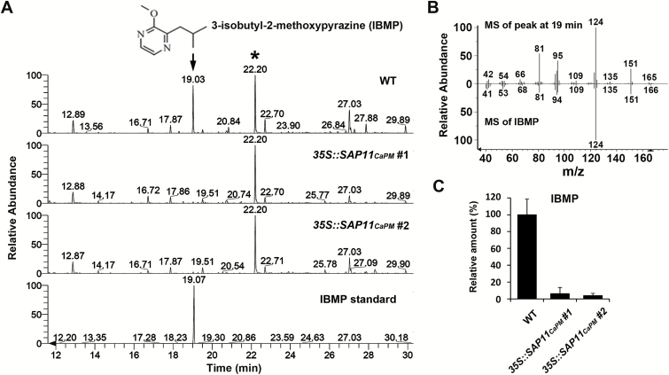 SAP11 CaPM suppresses IBMP accumulation in N. benthamiana . The emission profiles of VOCs released from the leaves of WT and SAP11 CaPM -transgenic N. benthamiana were determined using HS-SPME coupled GC-MS. The significantly decreased compound (arrow) in SAP11 CaPM -transgenic N. benthamiana was identified through comparison of its retention time ( A ) and mass fragmentation profile ( B ) with an authentic standard, IBMP. The internal standard, bornyl acetate, is indicated by an asterisk. The relative amount of IBMP shown in the chromatograms in A was calculated and is presented in C .
