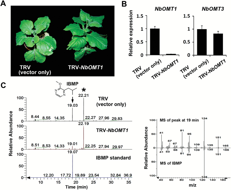 NbOMT1 silencing represses IBMP production in N. benthamiana . ( A ) Comparison of the growth phenotypes between TRV- and TRV -NbOMT1 -infected N. benthamiana . ( B ) Examination of the transcript levels of OMT genes by qRT-PCR. The relative gene expression levels in TRV-infected N. benthamiana were set to 1 after normalizing to Actin . ( C ) HS-SPME coupled GC-MS analyses of VOCs released from the TRV- and TRV -NbOMT1 infected N. benthamiana . The significantly decreased compound (arrow) in NbOMT1 -silenced N. benthamiana was identified by comparison of retention time with an authentic standard, IBMP. The internal standard, bornyl acetate, is indicated by an asterisk. Mass fragmentation profiles of the peak indicated by an arrow and IBMP are shown in the right panel.