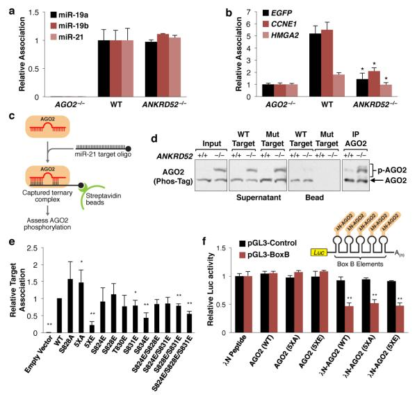 AGO2 phosphorylation impairs mRNA target association a, Measurement of AGO2-associated miRNA by qRT-PCR. N = 2 biological replicates each assayed in triplicate. Error bars indicate SD for this and all subsequent qRT-PCR data. b, AGO2-target association assessed as described in ( a ). *p