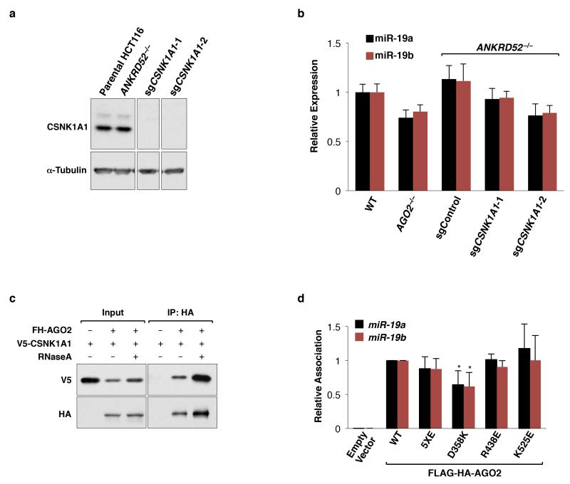 Functional characterization of CSNK1A1 and AGO2 target binding mutants a, Western blot analysis confirms loss of CSNK1A1 expression in HCT116 ANKRD52 −/− ; CSNK1A1 −/− clonal knockout cells. All lanes came from the same blot but irrelevant lanes were removed. b, miR-19 expression normalized to U6 expression, assessed by qRT-PCR, in cells of the indicated genotypes ( N = 4 biological replicates, each assayed in triplicate). c, Co-immunoprecipitation of V5-CSNK1A1 with FH-AGO2, with or without RNase A treatment. d, miRNA association of FH-AGO2 assessed as in Fig. 3e ( N = 4 biological replicates, each assayed in triplicate). *p