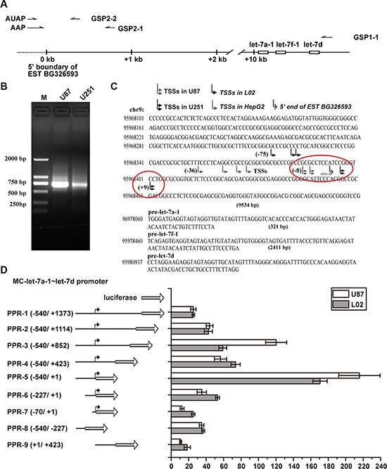 MC-let-7a-1~let-7d promoter characterization in GBM as compared to that in HCC ( A ) primers used for 5′RACE. Gene-specific primers (GSPs) GSP1-1 was used to synthesize the first strand cDNA. Primary amplification was carried out with abridged anchor primer (AAP) and GSP2-1 primer. Nested PCR was performed with abridged universal amplification primer (AUAP) and GSP2-2.( B ) 5′RACE results. The ~700-bp products were amplified in U87 cells and U251 cells by using GSP2-2 and AUAP. ( C ) sequence analysis of 20 products from each cell lines revealed that variable TSSs were used. The major TSSs of MC-let-7a-1~let-7d in U87 is located about 28 bp, while in U251 is located about 40 bp downstream of the TSSs used in HepG2 cells. ( D ) schematic diagram of the reporter construct (left panel). Truncation of the downstream region to +1 dramatically improved the promoter activity, whereas truncation of the upstream region to −227 resulted in progressive loss of activity in both U87 cells and L02 cells.