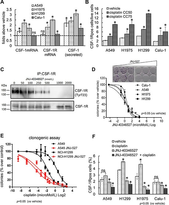 The expression of CSF-1R and its ligand influence the resistance to cisplatin treatment ( A ) Cisplatin treatment increases mRNA and protein levels of CSF-1 and CSF-1R. Histograms reporting the mRNA levels of CSF-1 and CSF-1R, in cells harvested at 24 hr (quantitative PCR), and the protein levels of CSF-1 in medium conditioned for 48 hr (ELISA assay), from the indicated cell lines treated with cisplatin at the CC 50 doses. ( B ) The CSF-1R expressing cells survive chemotherapy-induced stress. Upper panel. Representative FACS dot plots showing the percentage of CSF-1R pos in H1299 cells treated with cisplatin at the CC 50 and CC 75 for 72 hrs (gated). Gated cells and isotype controls are further illustrated in Supplementary Figure S1B . Lower panel: histogram bars reporting the percentage of CSF-1R pos cells in the indicated cell lines. In the lower panel, the mean ± SE of two independent experiments is reported. ( C – D ) CSF-1R inhibition affects the clonogenicity and resistance to cisplatin of lung cancer cell lines. (C) Western blotting of CSF-1R immunoprecipitates stained with the indicated antibodies from H1299 cells treated with increasing concentrations of JNJ-40346527. (D) Upper panel. Representative micrographs of the colonies formed by H1299 cells treated with increasing doses of JNJ-40346527. Lower panel. Histograms reporting the mean ± SE of the colonies formed by 4 representative cell lines in three independent experiments. ( E ) CSF-1R inhibition affects the resistance of lung cancer cell lines to cisplatin. Graphs reporting the percentage of colonies formed by A549 and H1299 cells treated with JNJ-40346527 at the CC 25 doses determined in 2D and with the indicated doses of cisplatin. Mean ± SE of three independent experiments. ( F ) JNJ-40346527 treatment modulates the number of CSF-1R pos cells. Histograms reporting the number of CSF-1R pos cells (as assessed by FACS) in the H1299 cells treated for 96 hrs at the previously determined CC 50 dosages fo