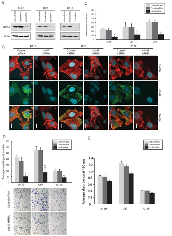 Knockdown of Cdc42 modulates morphology, suppress migration, and invasion of GBM cells A. Knockdown of Cdc42 by siRNA in A172, U87MG, and U118MG cells. B. Morphological alterations of A172, U87MG and U118MG cells after knocking down Cdc42 siRNA. The cells were labeled with F-actin and immunostained with anti-Cdc42 antibody. Scale Bar, 15 μm. C. Results of cell migration assays. Bar graphs show the average migration rate calculated as the change in the diameter of the circle circumscribing the cell population over a 24 hrs period. (* p