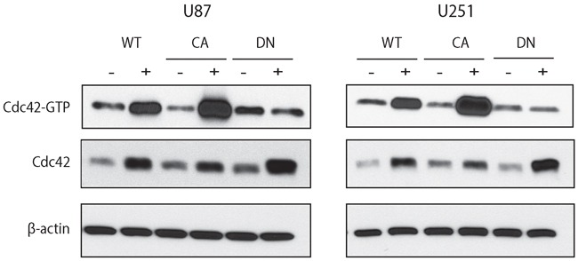 Doxycycline inducible cell lines expressing WT-, CA-, and DN-Cdc42 in U87MG and U251MG The total amount of Cdc42 is increased in the presence of doxycycline in all cell lines. Activated Cdc42 (Cdc42-GTP) is increased in WT- and is even higher in CA-Cdc42 in the presence of doxycycline. However, Cdc42-GTP in DN-Cdc42 cells treated with doxycycline has the same expression level as doxycycline negative cultures despite an increased expression of total amount of Cdc42.