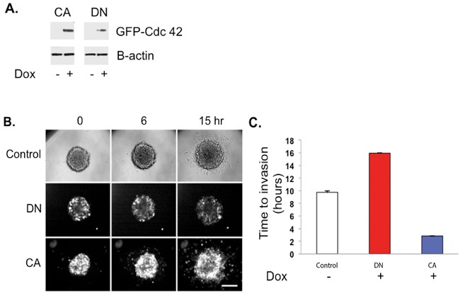 CA-Cdc42 increases three-dimensional spheroid invasion A. CA- and DN-Cdc42 expression induced by doxycycline treatment. B. Real time imaging of cellular invasion of spheroids embedded in Matrigel was performed using fluorescence imaging. C. Quantitative analysis of the 3-D spheroid invasion assay.