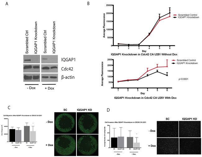 IQGAP1 siRNA on CA-Cdc42 inducible U251MG A. IQGAP1 knockdown with and without doxycycline. B. Proliferation assay after IQGAP1 knockdown. C. Migration assay after IQGAP1 knockdown *; p