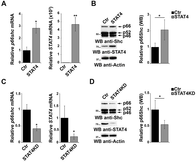 STAT4 modulates the levels of p66Shc in B cells A. qRT-PCR analysis of STAT4 and p66shc mRNA in EBV-B cells transiently transfected with either empty vector (Ctr) or an expression construct encoding STAT4 (STAT4). B. Immunoblot analysis of p46Shc, p52Shc and p66Shc 48 h after transfection with the STAT4-encoding construct in EBV-B cells. The histogram shows the quantification of the p66Shc immunoreactive band (n≥3). C. EBV-B cells were transfected with esiRNA targeting STAT4 and the levels of p66shc and STAT4 were measured by qRT-PCR. The relative abundance of the gene transcripts was determined on triplicate samples from at least 3 independent experiments using the ΔΔCt method and is expressed as the normalized fold expression (mean±SD). D. Immunoblot analysis of p46Shc, p52Shc and p66Shc 48 h after transfection of EBV-B cells with esiRNA targeting STAT4 (n≥3). Filters were reprobed for actin as loading control. The histogram shows the quantification of the p66Shc immunoreactive band. ** P ≤0.01; and * P ≤0.05.