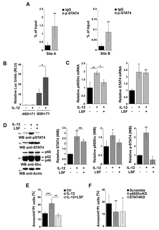 Activation of STAT4 promotes p66Shc transcription and B-cell apoptosis A. Nuclear extracts of EBV-B cells were subjected to ChIP assay with an antibody specific for p-STAT4. Precipitated DNA was amplified by qRT-PCR. Unspecific IgG was used as control. Data are presented as percentage of input DNA (mean±SD; n=6). B. Reporter gene assays on EBV-B cells co-transfected with the p66shc promoter reporter plasmid (pGL4p66Shc-460/+71) containing one STAT4 site and the control Renilla plasmid. Cells were stimulated or not with the IL-12 for 3 h prior to measuring luciferase activity (n > 3). C. qRT-PCR analysis of p66shc and STAT4 mRNA in EBV-B cells as above in presence or absence of 20 μM LSF (n≥3). D. Immunoblot analysis of STAT4, pSTAT4 and the three Shc isoforms in EBV-B cells stimulated or not with IL-12 in presence or absence of 20 μM LSF. Filters were reprobed for actin as loading control. The histograms show the quantification of STAT4, p-STAT4 and p66Shc, normalized to actin (n=3). E. Flow cytometric analysis of AnnexinV + /PI − EBV-B cells stimulated or not with IL-12 in presence or absence of 20 μM LSF followed by treatment with 500 ng/ml A23187. F. Flow cytometric analysis of AnnexinV + /PI − EBV-B cells transfected with siRNAs targeting p66shc or STAT4 , respectively, and stimulated with IL-12/A23187. Cells transfected with a scrambled siRNA were used as control. Data represent the mean±SD of the Annexin V + /PI − cells (n=3). *** P ≤ 0.001; ** P ≤0.01; and * P ≤0.05.