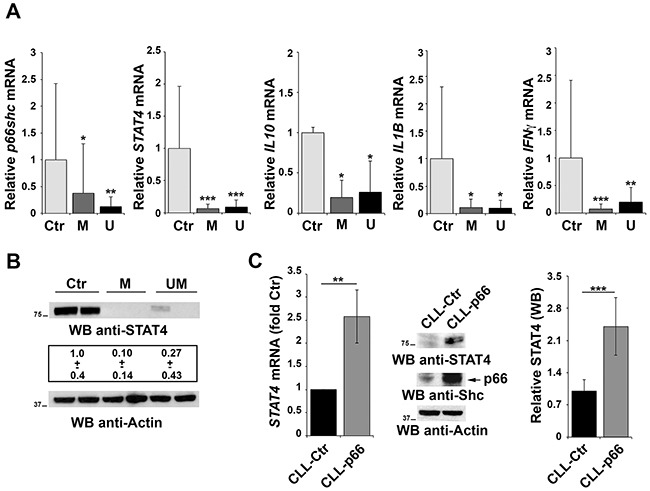 Impaired STAT4 expression in primary CLL B cells A. qRT-PCR analysis of p66shc , STAT4 , IL10 , IL1β and IFNγ mRNA in purified peripheral B cells from either healthy donors (Ctr, n=9) or CLL patients with mutated (M; n=15) or unmutated (U; n=15) IGHV . B. Representative immunoblot analysis of STAT4 in 2 healthy donors, 2 M-CLL and 2 U-CLL patients. The numbers below the representative blot refer to the quantification of STAT4 immunoreactive band in B-cell lysates from 10 M-CLL, 9 U-CLL and 6 healthy controls, of which at least 1 was included in each gel as reference. C. qRT-PCR analysis of STAT4 mRNA in CLL B cells nucleofected with either empty vector (CLL-Ctr) or an expression construct encoding p66Shc (CLL-p66). The relative abundance of STAT4 transcript was determined on triplicate samples from each patient using the ΔΔCt method and is expressed as the normalized fold expression (mean±SD; empty vector controls taken as 1 for all CLL samples). All samples (n=6) were checked for reconstitution of p66shc expression by qRT-PCR (data not shown). A representative immunoblot of STAT4 and p66Shc is shown on the right. Filters were reprobed for actin as loading control. The histogram shows the quantification of STAT4 in B-cell lysates from 3 reconstituted CLL samples. *** P ≤ 0.001; ** P ≤0.01; and * P ≤0.05.