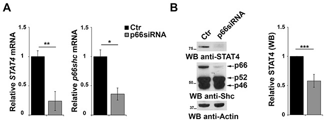 p66Shc affects STAT4 protein stability A. qRT-PCR analysis of STAT4 and p66shc mRNA in EBV-B cells transfected with siRNA targeting p66shc . The relative abundance of the genes transcripts as described above and is expressed as the normalized fold expression (mean±SD, (n≥3). B. Immunoblot analysis of STAT4 and the three Shc isoforms in EBV-B cells transfected with a siRNA targeting p66shc . Filters were reprobed for actin as loading control. The histogram shows the quantification of the levels of STAT4, normalized to actin (n≥3). *** P ≤0.001; and ** P