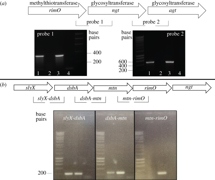 ( a ) Transcriptional analysis of the A. pleuropneumoniae NGT locus. Lane 1: <t>cDNA</t> as template; lane 2: RNA as template; lane 3: A. pleuropneumoniae HS143 genomic DNA positive control; lane 4: negative <t>PCR</t> control (no template). ( b ) Transcriptional analysis of the region upstream of ngt . Lane 1: cDNA as template; lane 2: genomic DNA positive control; lane 3: PCR control (RNA as template).