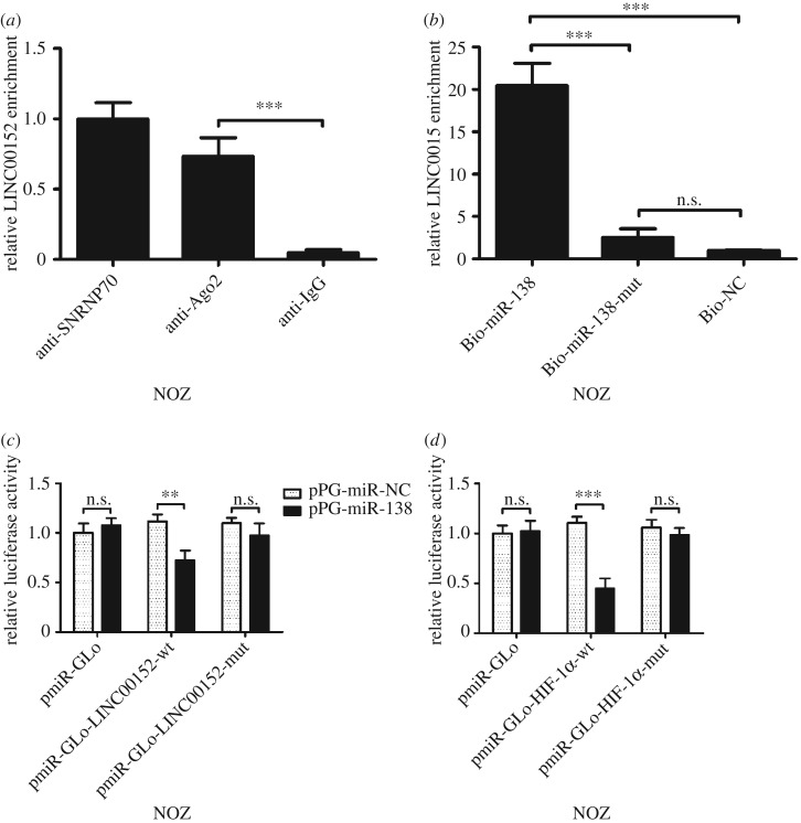 The underlying mechanism of the regulation of miR-138 and LINC00152. ( a ) Amount of LINC00152 bound to SNRNP70 (a positive control), Ago2 or IgG (a negative control) was measured by qPCR after RIP in NOZ cells. ( b ) NOZ cells were transfected with <t>biotinylated</t> NC (Bio-NC), biotinylated wild-type miR-138 (Bio-miR-138) or biotinylated mutant miR-138 (Bio-miR-138-mut), and biotin-based miRNA pull-down assays were conducted after 48 h of transfection. LINC00152 levels were analysed by qPCR. ( c ) Luciferase reporter activity in NOZ cells was detected after co-transfection with pPG-miR-138 (or the empty vector as a control) and the luciferase empty vector (pmiR-GLo), or the vector containing the wild-type LINC00152 (pmiR-GLo-LINC00152-wt) or mutant transcripts (pmiR-GLo-LINC00152-mut). Data are presented as the relative ratio of firefly luciferase activity to Renilla luciferase activity. ( d ) Luciferase reporter activity in NOZ cells was detected after co-transfection with pPG-miR-138 (or the empty vector as a control) and the luciferase empty vector (pmiR-GLo), or the vector containing the wild-type HIF-1α (pmiR-GLo-HIF-1α-wt) or mutant transcripts (pmiR-GLo-HIF-1α-mut). Data are presented as the relative ratio of firefly luciferase activity to Renilla luciferase activity. The mean ± s.d. of triplicate experiments were plotted. ** p