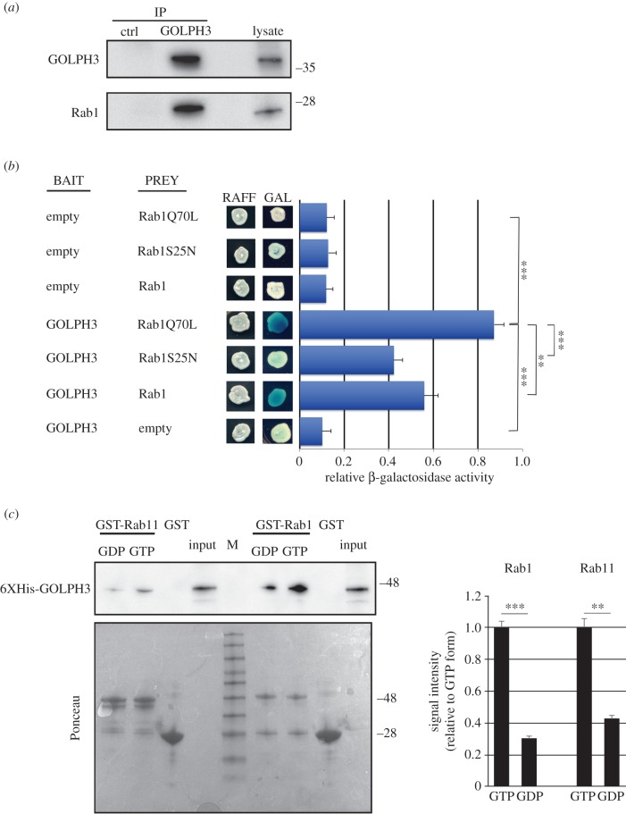 GOLPH3 protein interacts with Rab1. ( a ) Protein extracts from wild-type testes were immunoprecipitated with antibodies against Drosophila GOLPH3 (rabbit G49139/77) and blotted with mouse anti-GOLPH3 S11047/1/56 or with mouse anti-Rab1 S12085a antibodies. Preimmune serum (G49139/1, from the same animal before the immunization) was used as control (ctrl). Two per cent of the total lysate and 1/3 of the immunoprecipitates were loaded and probed with the indicated antibody. Molecular masses are in kilodaltons. The Co-IP experiment was performed three times with identical results. ( b ) Yeast two-hybrid assay: yeast cells cotrasformed with GOLPH3 bait plasmid together with a prey plasmid containing the indicated coding sequence were grown in X-gal-containing plates. In the presence of the GOLPH3 bait, Rab1Q70L and wild-type Rab1 proteins induce LacZ expression (blue colour indicates positive interaction). Quantification of LacZ reporter expression (graph) induced with different combinations of bait and prey plasmids is shown. Error bars indicate s.e.m. Statistically significant differences are ** p