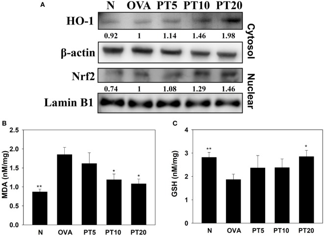 Phloretin (PT) effects on oxidative stress factors . (A) Western blot shows PT modulation of HO-1 and Nrf2 expression in lung tissue of normal (N) and OVA-stimulated (OVA) mice, without or with PT (PT5-20) treatment. (B) Malondialdehyde (MDA) activity and (C) GSH activity in lung tissues of mice. Data are presented as the mean ± SEM. * p