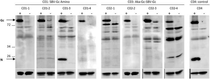Western Blot analysis. Sera collected at 28 days post challenge from animals of groups C01 and C03 as well as from one control animal from group C04 were analyzed by Western blot using SBV-infected (+) or non-infected cells (−) as antigens. All sera (dilution 1/100) contained Gc-specific antibodies and enabled staining of SBV-Gc (~120 kDa) in infected cell lysates. In contrast, the SBV-N-protein (~25 kDa) was detected only by sera from the infected control animal as well as by one animal from group C01. Staining of Beta Actin was used as a loading control and is shown (cropped) beneath the corresponding serum-staining. Full-length blots are presented in Supplementary Figure 4 .
