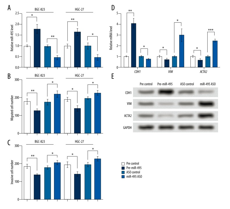 miR-495 inhibited cell migration and invasion in BGC-823 and HGC-27 cell lines and regulated EMT factors. Pre-miR-495, cells were transfected with miR-495 precursor to overexpress miR-495. miR-495 ASO, cells transfected with miR-495 antisense oligo (ASO) to inhibit miR-495. Pre-ASO control, the corresponding control group of pre-miR-495 or miR-495 ASO. qRT-PCR, Western blot and Transwell assays were performed at 48 hours after transfection. ( A ) miR-495 was successfully promoted or inhibited by cell transfection in BGC-823 and HGC-27 cells. ( B ) miR-495 inhibited, and its ASO promoted, cell migration in BGC-823 and HGC-27 cells. ( C ) miR-495 inhibited, and its ASO promoted, cell invasion in BGC-823 and HGC-27 cells. ( D ) miR-495 upregulated CDH1 and downregulated VIM and ACTA2 mRNA levels in BGC-823 cells. ( E ) miR-495 upregulated CDH1 and downregulated VIM and ACTA2 protein levels in BGC-823 cells. GAPDH mRNA and protein were used as internal references for qRT-PCR and Western blot, respectively. * p