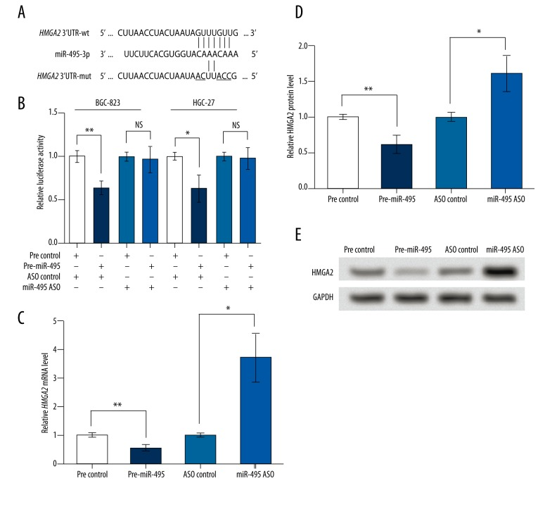miR-495 directly binds to and inhibits HMGA2 . pre-miR-495, cells were transfected with miR-495 precursor to overexpress miR-495. miR-495 ASO, cells transfected with miR-495 antisense oligo (ASO) to inhibit miR-495. Pre-ASO control, the corresponding control group of pre-miR-495 or miR-495 ASO. wt, wildtype. mut, mutant type. ( A ) A schematic diagram of HMGA2 3′UTR-wt, and HMGA2 3′UTR-mut and their predicted interaction with miR-495. The mutated bases are underlined. ( B ) Dual-luciferase reporter assay results of altered HMGA2 3′UTR activity by miR-495 in cell lines BGC-823 and HGC-27. ( C ) qRT-PCR showing relative level of HMGA2 mRNA in transfected BGC-823 cells. ( D ) Relative HMGA2 protein level in transfected BGC-823 cells based on the Western blot result, as shown in ( E ). GAPDH mRNA and protein were used as internal references for qRT-PCR and Western blot, respectively. NS – not significant. * p