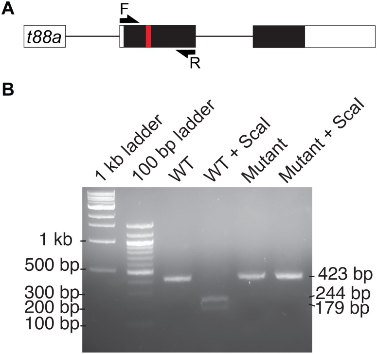 tmem88a cDNA from tmem88a mutants is not digested by ScaI. (A) Schematic representation of the tmem88a ( t88a) mRNA transcript. Non-coding and coding exons are shown as white and black blocks respectively. Introns as depicted as solid lines. The deleted site in tmem88a Δ8 mutants is shown by a red bar. F and R primers used for amplification of cDNA are shown as arrows. (B) 2% agarose gel showing ScaI digestion of wild type PCR product into fragments of 244 and 179 bp in size. Tmem88a mutant cDNA is not digested by ScaI.