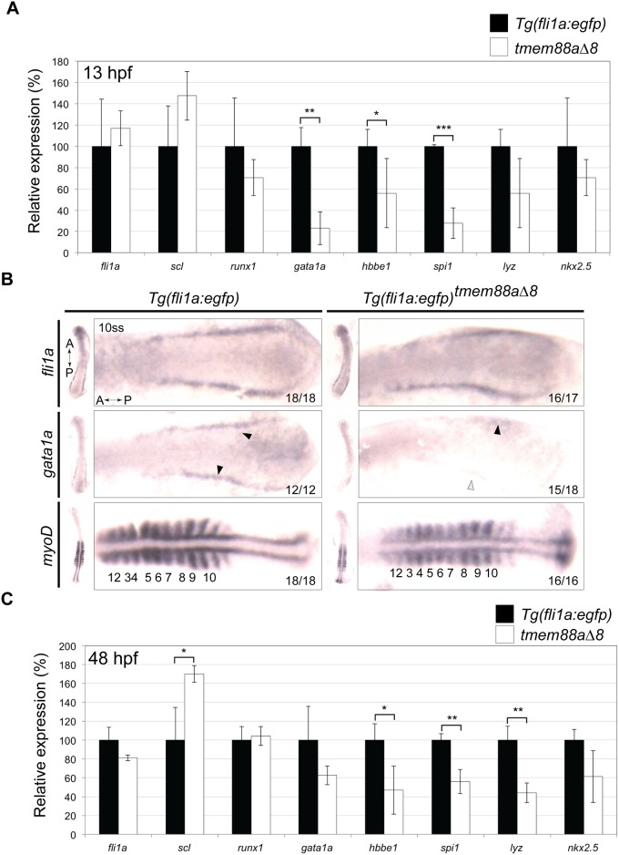 Cardiovascular associated genes are downregulated in tmem88a Δ8 embryos. (A) qRT-PCR showing the expression of key cardiovascular genes in tmem88 Δ8 mutants compared to Tg(fli1a : egfp) controls at 13 hpf. (B) In situ hybridisation for fli1a , gata1a , and myoD in control and tmem88a Δ8 mutants as labelled. Gata1a expression is denoted with black error heads, reduced or absent expression is shown with grey or white arrowheads respectively. Somites are marked by asterisks. (C) qRT-PCR showing the expression of key cardiovascular genes in tmem88 Δ8 mutants compared to Tg(fli1a : egfp) controls at 48 hpf. All P -values determined by Unpaired Student's t test. Error bars denote the standard deviation of three biological replicates. P -values determined by Unpaired Students t test. * = p
