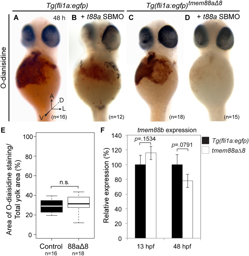 Erythropoiesis was not affected in tmem88a Δ8 zebrafish mutants. ( A-D ) o-Dianisidine staining of erythrocytes at 48 hpf in uninjected Tg(fli1a : egfp) controls (A, n = 16) or controls injected with tmem88a SBMO (B, n = 12), and uninjected tmem88a Δ8 mutants (C, n = 18) or mutants injected with tmem88a SBMO (D, n = 15). ( E ) The area of o-Dianisine staining was quantified and presented as a percentage of the total yolk area, shown in a Tukey box and whisker plot. No significant difference was found between control embryos and tmem88a Δ8 mutants ( p = 0.2710, Unpaired Student's t test). ( F ) tmem88b expression is not affected in tmem88a Δ8 mutants. qRT-PCR showing the expression of tmem88b in tmem88 Δ8 mutants compared to Tg(fli1a : egfp) controls at 13 and 48 hpf. P -value determined by Unpaired Student's t test. Error bars denote the standard deviation of three biological replicates. A, anterior; h, hours post fertilisation; D, dorsal; L, lateral; V, ventral; n.s., not significant.
