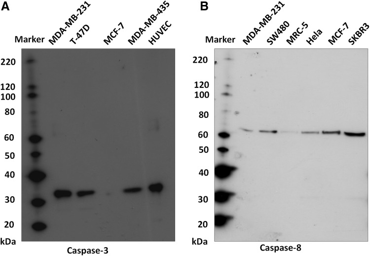 Antibody validation for anti-caspase-3 ( panel A ) and anti-caspase-8 ( panel B ). A single specific band, of 35 kDa, was obtained for caspase-3, and a single specific band, of 62 kDa, obtained for caspase-8. Expression, as shown, was assessed across a range of breast cancer cell lines, representing different phenotypes (MDA-MB-231, MDA-MB-435, T-47D, MCF-7 and SKBR3), human umbilical vein endothelial cells (HUVEC), fibroblasts (MRC-5), cervical cancer (HeLa) and/or colorectal cancer cells (SW480's). Expression of caspase-3 was absent, as expected, from MCF-7's