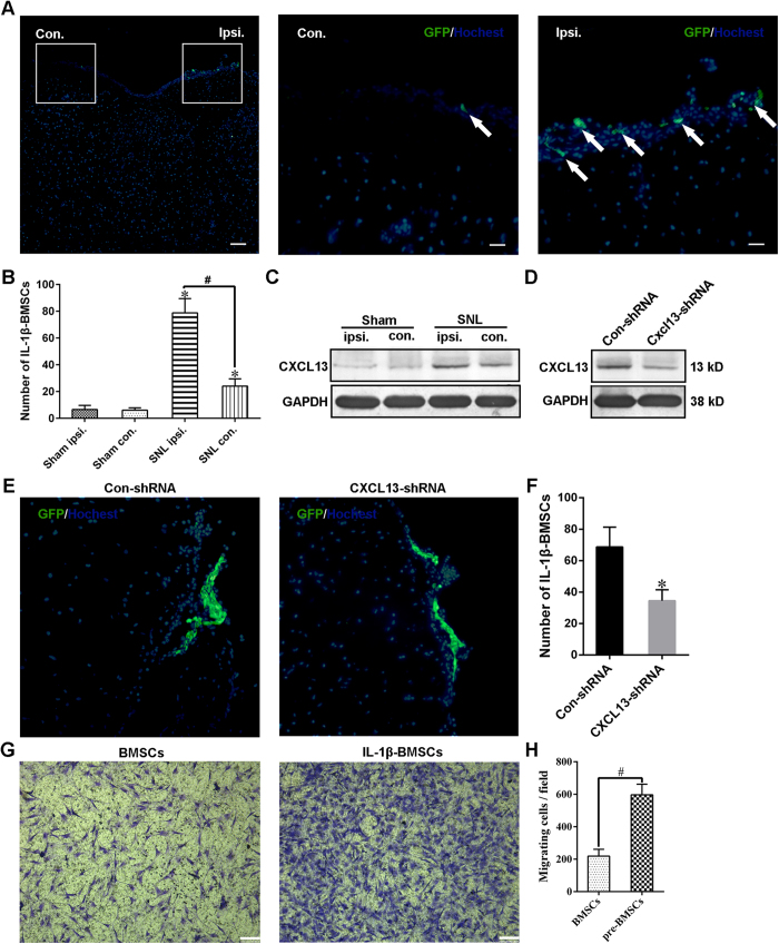 CXCL13 mediated the directional migration of IL-1β-BMSCs in vivo and in vitro . ( A ) Representative immunofluorescent images of the spinal cord on day 7 after SNL (day 7 after IL-1β-BMSCs injection). The middle panel and the right panel were the enlarged images of the white box parts in the left panel. Arrows in the middle and right panels are GFP-labeled IL-1β-BMSCs (GFP-BMSCs). Scale bars = 200 μm (left panel) and 50 μm (middle and right panels). ( B ) Numbers of GFP-BMSCs in ipsilateral and contralateral spinal cords on day 7 after SNL or sham operation. ( C ) Expression of CXCL13 in ipsilateral and contralateral spinal cords seven days after SNL or sham treatment. ( D ) Expression of CXCL13 in ipsilateral spinal cords on day 7 after SNL. Control or Cxcl13 shRNA lentivirus vectors were injected three days before SNL. Full-length bolts in C and D were presented in Supplementary Figure S1 . ( E ) Representative immunofluorescent images of GFP-BMSCs on the surface of an ipsilateral spinal cord. ( F ) Statistical results of the numbers GFP-BMSCs on the surface of ipsilateral spinal cords. ( G ) Representative images of transwell chemotaxis of BMSCs and IL-1β-BMSCs toward CXCL13. Scale bars = 100 μm. ( H ) Statistical results of cell migration. For ( A – F ), 32 rats in total and n = 7–8 rats/group (4 rats for immunofluorescence and 3–4 rats for western blot), and for ( H ) ten random fields at 100 × magnification were analyzed, n = 5 cultures/group. *P