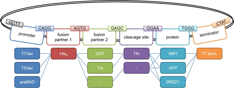 Basic plasmid library for E. coli . The plasmid library consists of 13 donor plasmids, resulting in 27 different expression plasmids. Three promoters (T7/ lac , T5/ lac and araBAD ) were combined with a His 6 tag and either GST or Trx as a fusion partner (or no fusion partner). A thrombin cleavage site was also included in the constructs with a fusion partner. The library includes three AMP genes encoding IMPI, BR021 or the L. sericata antifungal peptide (AFP). The T7 transcriptional terminator was present in all constructs. The chosen Bsa I overhangs are shown above the elements