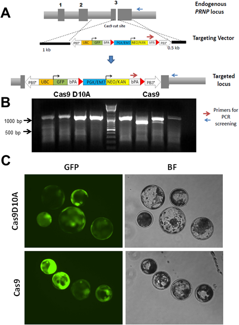 CRISPR-mediated knock-in of GFP transgene into the PRNP locus. ( A ) Schematic of the targeting vector showing targeting homology arms (HA) to the pig PRNP locus and strategy for knock-in. In the targeting vector, the upper arm is 1000 bp and the lower arm 500 bp in length. The linearized targeting vector, <t>Cas9</t> mRNA and sgRNA targeting PRNP were co-injected into the cytoplasm of porcine zygotes. As shown in the schematic, Cas9 induces double strand break in exon 3 of PRNP gene. The cut DNA is then repaired by HDR using the targeting vector, resulting in the targeted allele. The use of Cas9D10A <t>(nickase)</t> introduced a single stranded nick as compared to DSB by Cas9, triggering HDR mediated knock-in into the PRNP locus. Dark grey boxes represent exons of the PRNP gene. ( B ) PCR amplification using primers one within the targeting vector and another outside of the targeting vector produced specific bands of 1050 bp confirming targeting to the intended locus. In the figure, the 1000 bp and 500 bp markers with corresponding bright bands on the ladder are shown as a reference. ( C ) Representative knock-in embryos that have developed to the blastocyst stage showed varied GFP expression in both Cas9D10A and Cas9 injections.