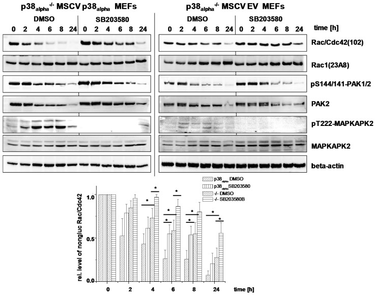 Effects of genetic deletion of p38 alpha and of SB203580 treatment on TcsL-catalyzed Rac/Cdc42 glucosylation (time-dependency). p38 alpha −/− MSCV p38 alpha MEFs and p38 alpha −/− MSCV empty vector (EV) MEFs were treated with TcsL (1 µg/mL) in the presence of SB203580 (10 µM) or DMSO alone for the indicated times. The cellular levels of non-glucosylated Rac/Cdc42, total Rac1, pS144/141-PAK1/2, PAK2, pT222-MAPKAPK2, MAPKAPK2, and beta-actin were analyzed by immunoblotting using the indicated antibodies. Quantifications of immunoblots were performed using Kodak software and relative amounts of non-glucosylated Rac/Cdc42 versus the total levels of Rac1, respectively, are expressed as mean ± SD of three independent experiments. * indicates significant differences, p
