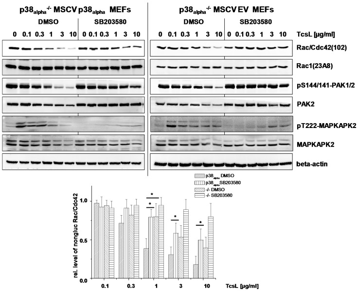 Effects of genetic deletion of p38 alpha and of SB203580 treatment on TcsL-catalyzed Rac/Cdc42 glucosylation (TcsL concentration-dependency). p38 alpha −/− MSCV p38 alpha MEFs and p38 alpha −/− MSCV empty vector (EV) MEFs were treated with the indicated concentrations of TcsL in the presence of SB203580 (10 µM) or DMSO alone for 4 h. The cellular levels of non-glucosylated Rac/Cdc42, total Rac1, pS144/141-PAK1/2, PAK2, and beta-actin were analyzed by immunoblotting using the indicated antibodies. Quantifications of immunoblots were performed using Kodak software and relative amounts of non-glucosylated Rac/Cdc42 versus the total levels of Rac1, respectively, are expressed as mean ± SD of three independent experiments. * indicates significant differences, p