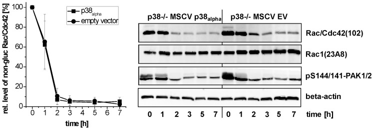 Effects of genetic deletion of p38 alpha on TcdB-catalyzed Rac/Cdc42 glucosylation (time-dependency). p38 alpha −/− MSCV p38 alpha MEFs and p38 alpha −/− MSCV empty vector (EV) MEFs were treated with TcdB (1 ng/mL) for the indicated times. The cellular levels of non-glucosylated Rac/Cdc42, total Rac1, pS144/141-PAK1/2, and beta-actin were analyzed by immunoblotting using the indicated antibodies. Quantifications of immunoblots were performed using Kodak software and relative amounts of non-glucosylated Rac/Cdc42 versus the total levels of Rac1, respectively, are expressed as mean ± SD of three experiments.