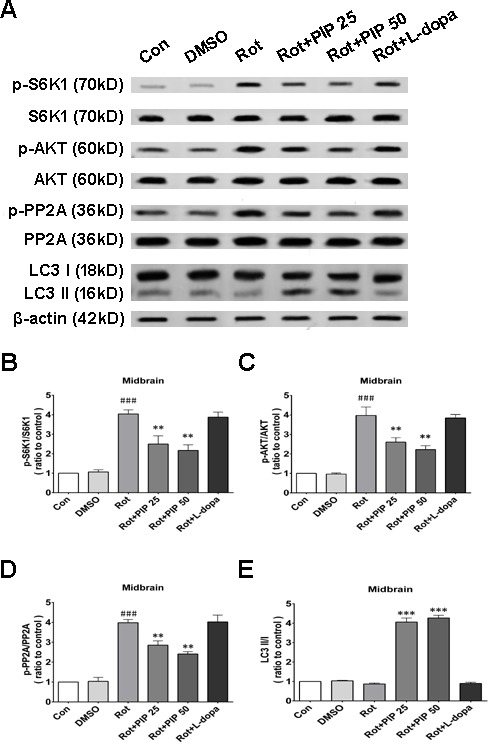 PIP induces autophagy via PP2Aactivation in a mouse model of rotenone-induced PD A. S6K, p-S6K1, AKT, p-AKT, PP2A, p-PP2A, LC3 I and LC3 II expression was determined by western blotting of SN tissue lysates; β-actin was used as a loading control. B. - E. Quantification of the ratios of p-S6K1/S6K1 (B), p-AKT/AKT (C), p-PP2A/PP2A (D), and LC3 II /I (E). Data are expressed as the mean ± SD (one-way analysis of variance). ### P